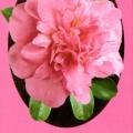 Paradise Joy Camellia Sasanqua