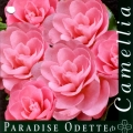 Paradise Odette Camellia Sasanqua