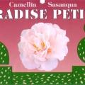 Paradise Petite Camellia Sasanqua