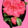 Paradise Rebecca Camellia Sasanqua