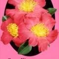 Paradise Simone Camellia Sasanqua