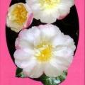 Paradise Venessa Camellia Sasanqua