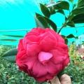 L.T. Dees Camellia