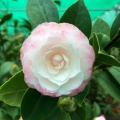Small Pink Formal Camellia