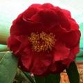 Dr Clifford Parks Camellia