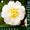 Asakura Camellia