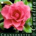 Chansonette Camellia