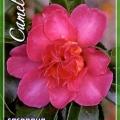 Cherilyn Camellia