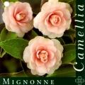Mingonne Camellia