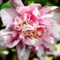 Peach Puff Camellia