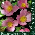 Plantation Pink Camellia