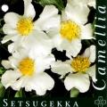 Setsugekka Camellia