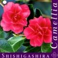 Shishigashira Camellia