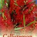 Callistemon Dawson River Weeper