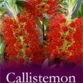 Callistemon Endeavour