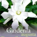 Gardenia Augusta Four Seasons