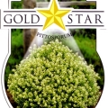 Gold Star Pittosporum