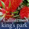 Callistemon King's Park Special