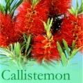 Callistemon Viminalis