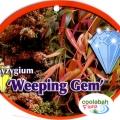 Syzygium Weeping Gem