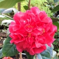 Miss Tulare Grafted Camellia