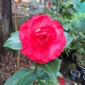 Winters Gem Grafted Camellia