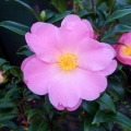 Nicky Crisp Grafted Camellia