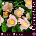Baby Bear Grafted Camellia