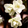 Bogongs Snow Grafted Camellia