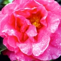 Flower Boy Grafted Camellia