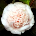 Mrs DW Davis Descanso Grafted Camellia
