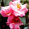 Pastell Grafted Camellia