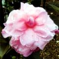 Simpatica Grafted Camellia