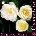 Spring Mist Grafted Camellia