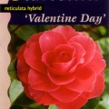 Valentines Day Grafted Camellia