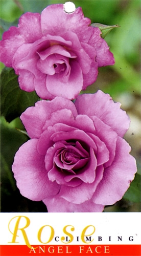 Roses At Wholesale Prices In Perth John Cole S Nursery