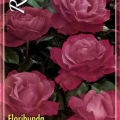 Floribunda Angel Face Rose
