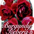 Burgandy Iceberg Rose