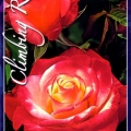 Climbing Double Delight Rose