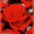 Kardinal Rose
