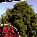 Brachychiton Bella Pink Tree