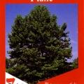 Planatus x Acerifolia Bloodgood Tree