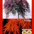 Dissectum Atropurpureum Ornatum Weeping Maple Tree