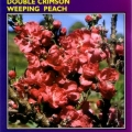 Double Crimson Weeping Peach Tree