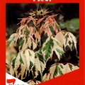 Acer Negundo Flamingo Tree
