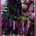 Wisteria Floribunda Macrobotrys Tree