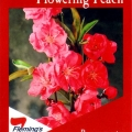 Prunus Persica Magnifica Flowering Peach Tree