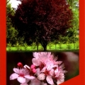 Prunus Cerasifera Nigra Ornamental Plum Tree