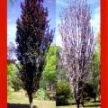 Prunus Cerasifera Oakville Crimson Spire Ornamental Plum Tree