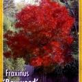 Fraxinus Raywood Claret Ash Tree